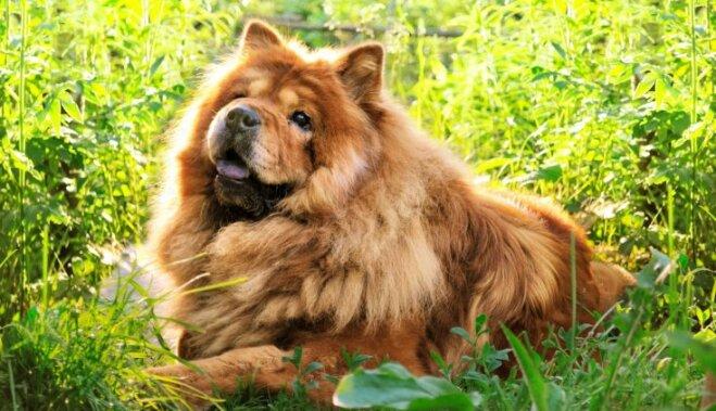 Пять больших пород собак, которые выглядят как… медведи