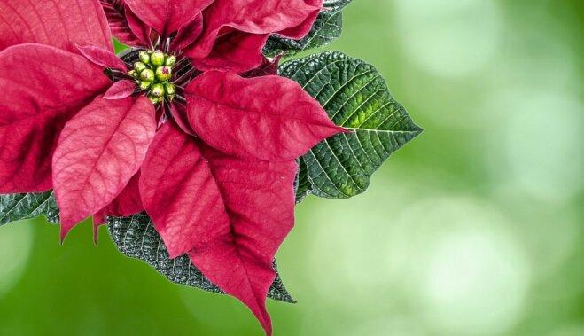 Молочай - самый главный цветок Рождества: покупаем и ухаживаем