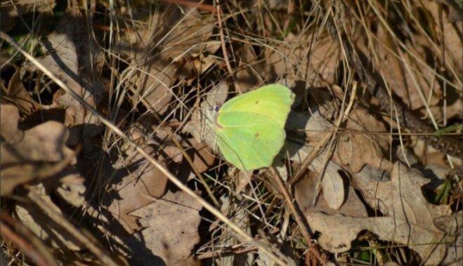 Citrontauriņš un ķirzaka – pavasara vēstneši jau modušies
