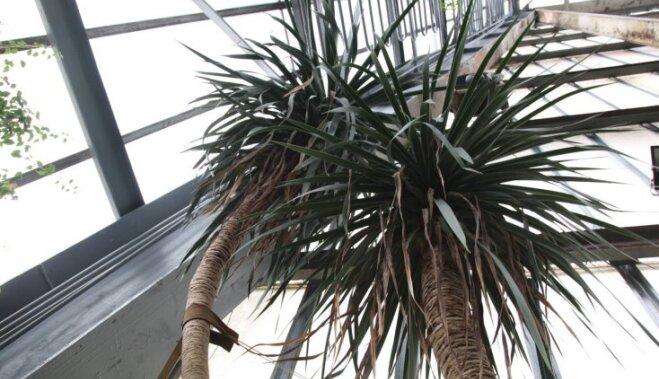 ФОТО: В Ботаническом саду ЛУ в первый раз за 45 лет зацвело Драконово дерево