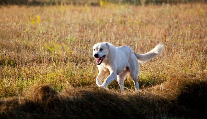 Drosmīgais un lādzīgais milzis Vidusāzijas aitu suns