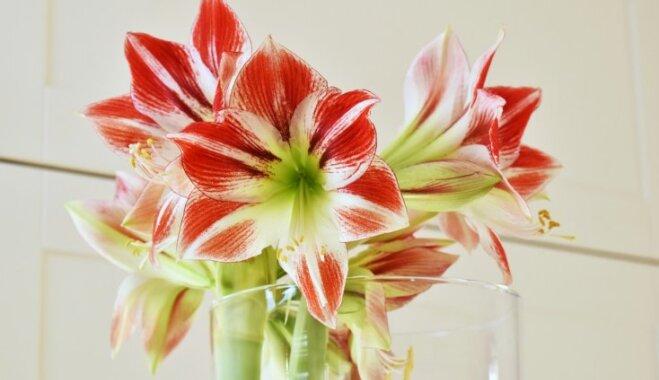 Graciozais zieds uz brangā kāta – kā vāzē glabāt griezto ziedu hipeastru