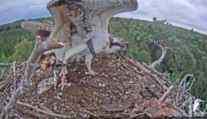 Video no zivjērgļu ligzdas: Viltnieks Peksis neļauj māsiņai sagrābt zivi
