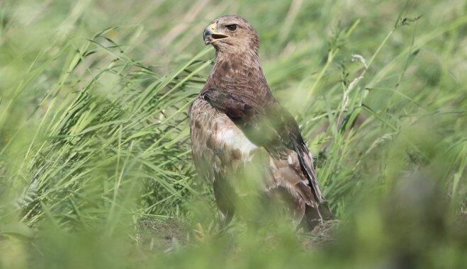Latvija – mazo ērgļu populācijas centrs; 10% no to ligzdām skar mežu ciršanas ietekme