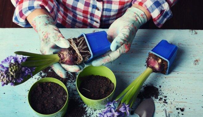 No kompozīcijām līdz sīpolu saglabāšanai – hiacinšu cienītāju rokasgrāmata