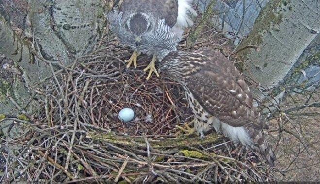 Vistu vanagi izdējuši pirmo olu; putnu dzīve vērojama tiešraidē