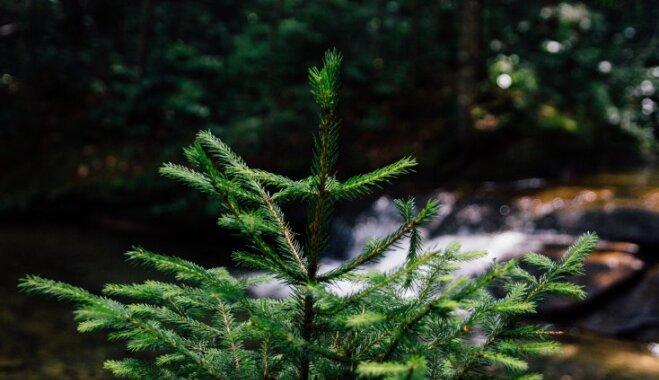 Kā izvēlēties skaistāko un noturīgāko svētku eglīti