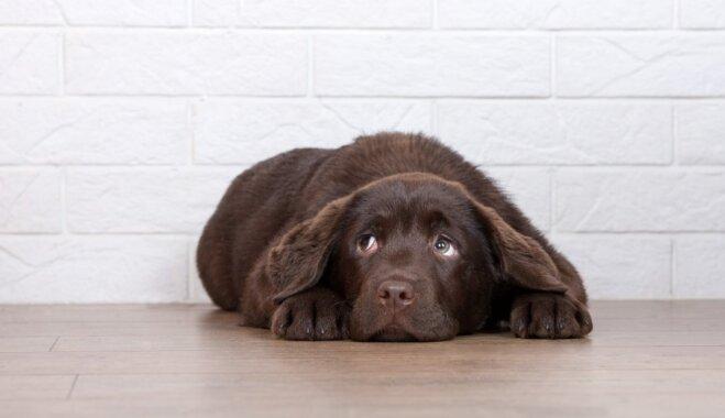Uguņošana vai pērkons: kinologu ieteikumi, kā palīdzēt sunim pārvarēt stresa situācijas