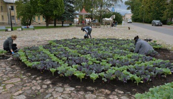 Jēkabpils pilsētas skvēru krāšņi rotā dekoratīva kāpostu dobe