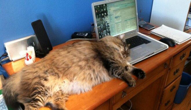 Desmit lielākā izmēra mājas kaķu šķirnes
