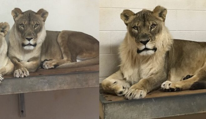 Pieaugušai lauvenei Bridžetai ASV pusgada laikā izaug krēpes