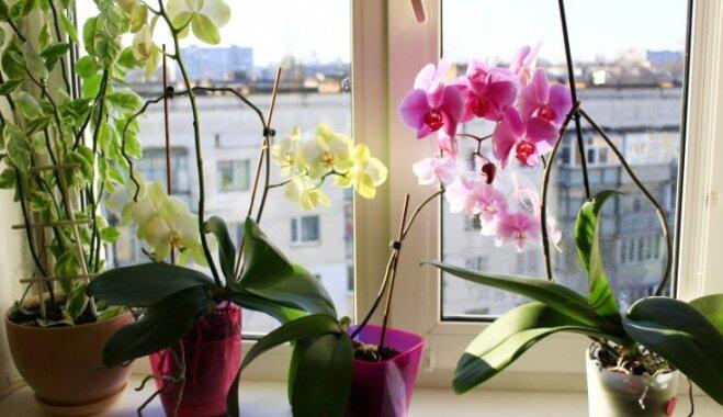 Zelta likumi, kas jāievēro kaprīzo orhideju kopšanā