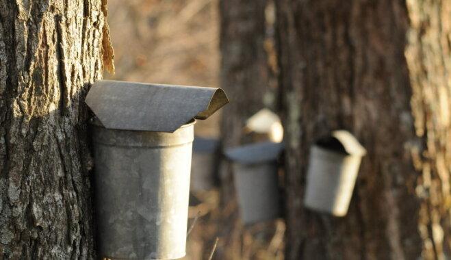 Kā pareizi tecināt kļavu sulu?