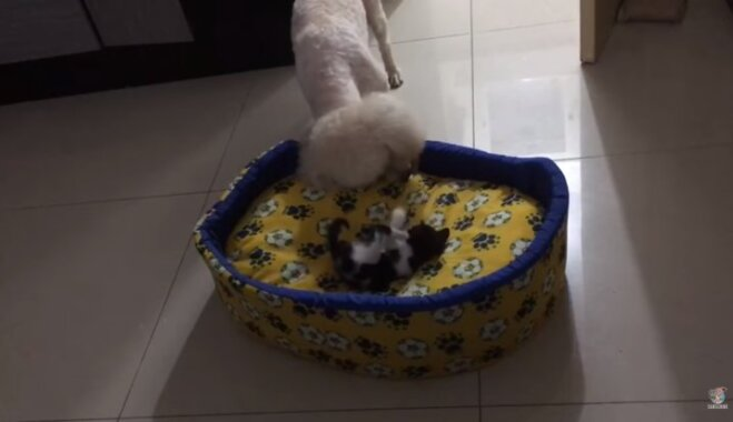 Video: Nešpetns kaķēns izdzen suni no gultiņas