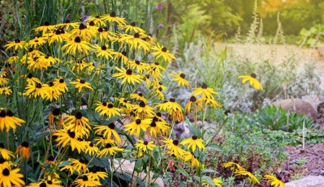 Viltus saulespuķes rudbekijas – kā audzēt saulainās ziemcietes