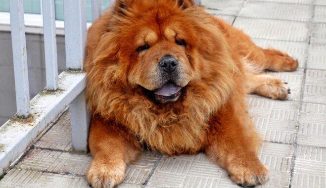 Čau čau - suns, kurš nesaprot jokus