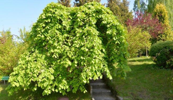 Zaļojošais dārza skaistums – cēlā goba