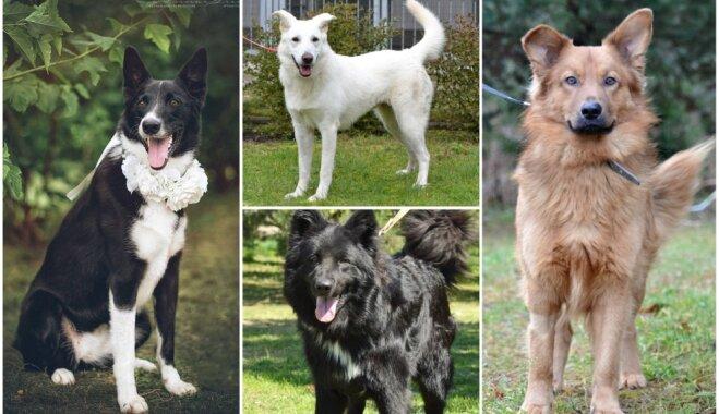 Piemēroti saimniekiem, kuriem suņa skološana ir pašsaprotama. Mājas meklē četri skaistuļi