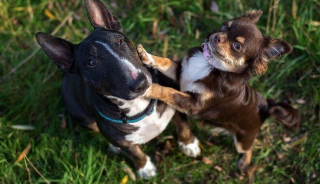 Mazo suņu sindroms – kāpēc mīluļi mēdz izrādīt savu pārākumu