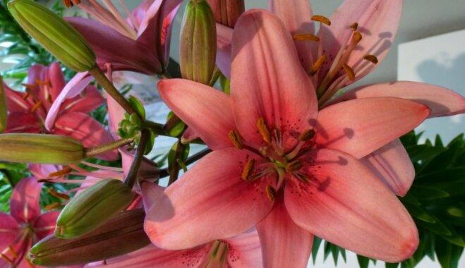 Kuldīgas novada muzejs aicina aplūkot karalisko liliju izstādi