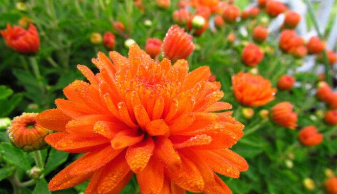 Осень не за горами: 15 осенних цветов, которые сделают ваш сад нарядным