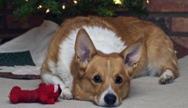 Mīlīgi suņuki visā pasaulē ar nepacietību gaida Otro adventi un Ziemassvētkus
