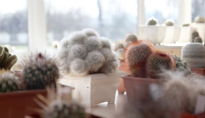 Foto: Adataino augu kaktusu parāde Botāniskajā darzā
