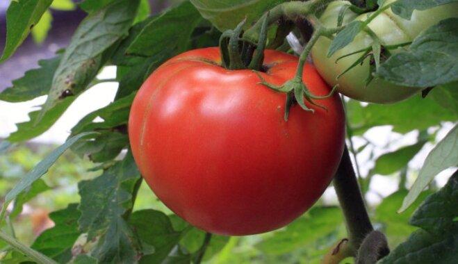 Фото томат повреждения стебля