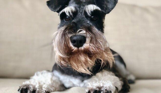 Unikalitāte piesaista vairāk sekotāju: pieredzes stāsts par instagrama kontu savam sunim