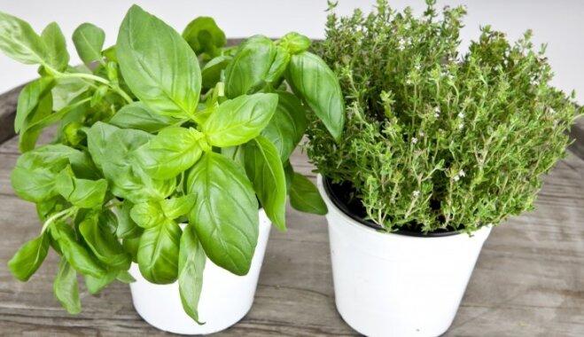 Smaržīgais garšaugs timiāns: kas jāzina par tā audzēšanu iekštelpās