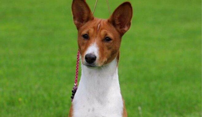 Joprojām meklē Bolderājas mežā pazudušu basendži; suns manīts arī citos novados