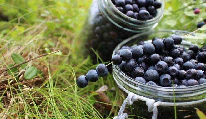 Садовая черника: как правильно посадить ягоду на участке и организовать за ней уход