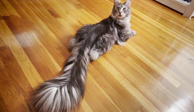 Kaķis-rekordists ar gandrīz pusmetru garu asti – meinkūns Signuss