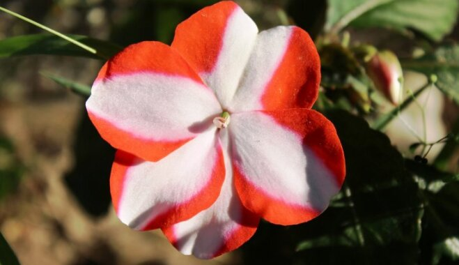 No maija līdz rudens salnām ziedošās balzamīnes un to audzēšana dārzā
