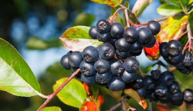 Aktuālais dārza gardums: melnās pīlādžogas jeb aronijas