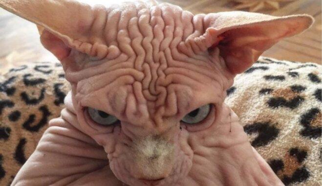 Foto: Neapmierinātais kaķis Ksanders, ko saimniece sauc par visskaistāko pasaulē