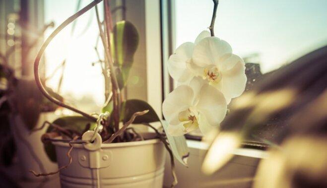 Kā izdabāt orhidejai ziedēšanas laikā