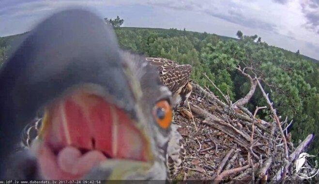 Video: Zivjērglis Peksis mēģina apēst tiešraides kameru