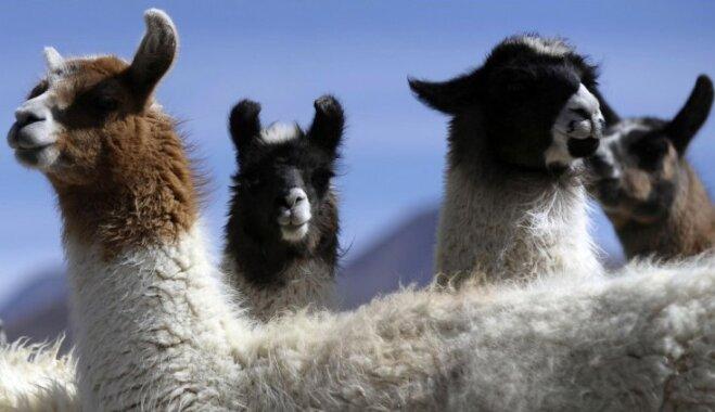 Britu lopus suņu vietā sargās agresīvas lamas