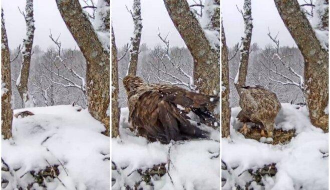 Amizanti kadri: Apsnidzis jūras ērglis Ziemeļkurzemē izspraucas no sniega segas