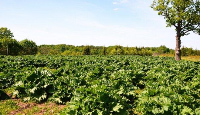 Darbs ar skābiem darba augļiem – rabarberu audzētāji Madonas novadā