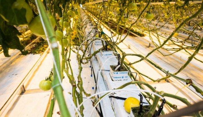 Foto: Kā Getliņu siltumnīcās aug raženi tomāti un gurķi