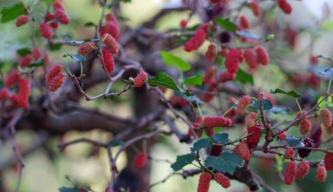 Smalkā eksotika – neparasto ogu zīdkoks un tā audzēšana Latvijā