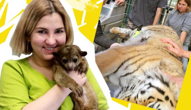 Rīgas zoodārza veterinārārste: pirmais solis tīģera krātiņā vienmēr ir nervus kutinošs