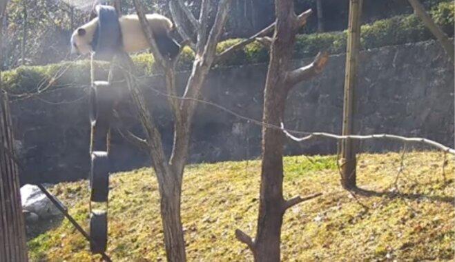 Video: Bezbailīga pandiņa iesaistās pārgalvīgā aktivitātē