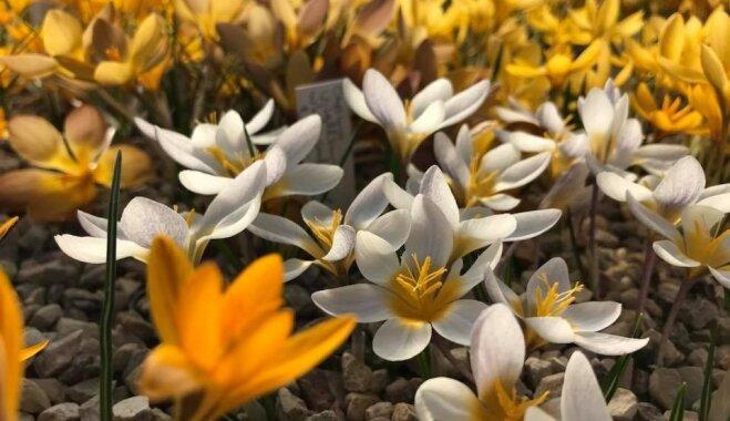 Foto: Raiskumā pašā zenītā zied lielākā krokusu kolekcija pasaulē
