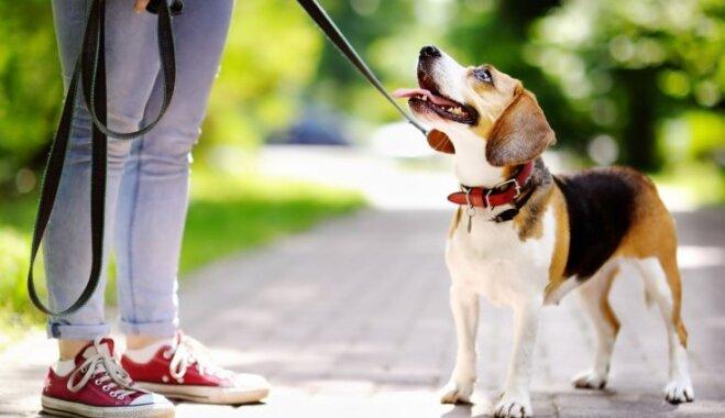 Suņa vešana pie pavadas – kādi noteikumi uz to attiecas