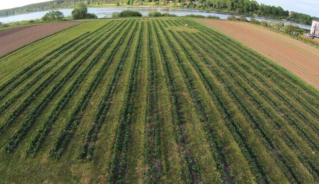 Seši zemeņu lauki Latvijā, kuros vēl var pagūt ogas salasīt pašu rokām