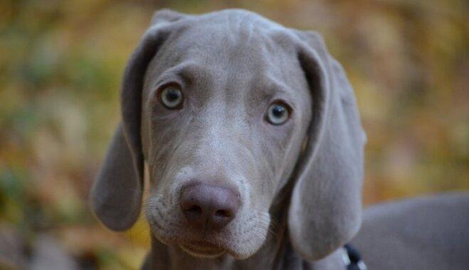 Nekļūdīties ar izvēli: suņu šķirnes nepieredzējušiem un rūdītiem saimniekiem