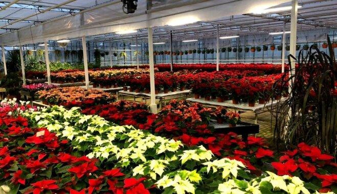 """ФОТО: """"Дом"""" рождественских звезд, или Как в Цесисе выращивают пуансеттии"""